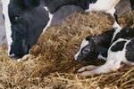 When Do Newborn Calves Get Away From Their Mothers?