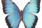 What Does the Blue Morpho Caterpillar Look Like?