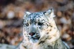 The Snow Leopards on Mount Everest