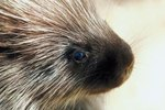 How Many Needles Does a Porcupine Have?