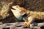 Desert Spiny Lizard's Diet
