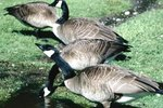 How to Tell the Difference Between Female & Male Canada Geese