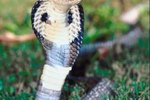 Black Cobra Snake Information