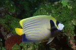 What's the Habitat of an Angelfish?