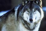 Where Do Timber Wolves Live?