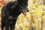How Have Humans Affected the Evolutionary Changes in Wolves?