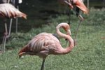 When Do Flamingos Stop Caring for Their Young?