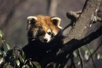 What Does the Chinese Red Panda Eat?