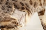 Surgical Wound Closure in Cats Following Spaying