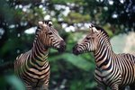 Do Zebras & Horses Make the Same Sound?