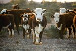 Cattle Disease Symptoms