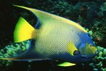 Facts on Marine Queen Angelfish