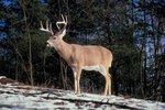 What Happens to a Male Deer's Antlers in the Winter?