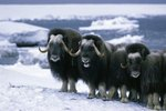 Difference Between Musk Oxen and Yaks
