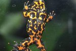The Differences between Girl and Boy Fire-Bellied Toads