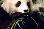 What Animal Family Is the Giant Panda From?