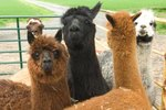 What Deserts do Llamas Live In?