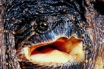 The Jaw Pressure of a Snapping Turtle