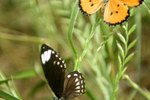 How Long Will Butterflies Live After Mating?