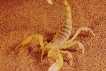 Adaptations of Sahara Desert Scorpions