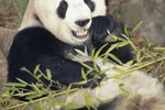 What Kind of Environment Does a Panda Live In?