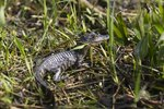 How Long Does a Mother Alligator Care for Her Young After They Hatch?
