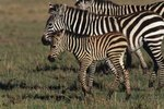 The Life Cycle of a Zebra After It Is Born