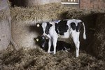 How Often to Give Probios to Calves
