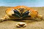 Distinguishing Characteristics of Crabs