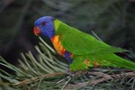 How Does the Rainbow Lorikeet Protect Itself?