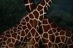 Difference Between Masai & Reticulated Giraffes