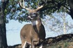 Gender Identification for White-Tailed Deer