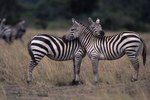 Are Zebra Foals Born Striped?
