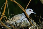Nesting Habits of Doves