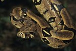 Colombian Boa Size & Temperament