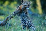 Leopard Cub Facts