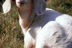 What Makes a Goat Not Chew Its Cud?