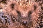 Does a Hedgehog Have Good Hearing & Eyesight?