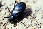 Facts on Darkling Beetles