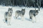 What Are Wolves' Defense Mechanisms?