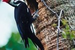 What Is the Purpose of a Woodpecker Pecking Wood?