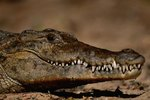 Can a Crocodile Stick Out Its Tongue?