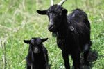 When Does a Goats Vulva Start to Expand During Pregnancy?