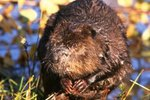 Reproduction of Beavers