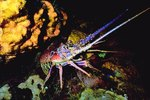 How to Keep Lobsters in a Saltwater Aquarium