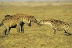 What Do Hyenas Do During the Day?