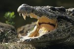 How to Tell a Male from a Female Crocodile