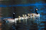 How Do Goslings Recognize Their Mothers After They Are Born?