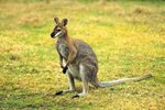 Do Kangaroos Really Box?