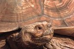 Difference Between a Sulcata Tortoise & a Russian Turtle
